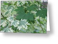 Maple Leaves Same Tree Greeting Card