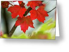 Maple Leaves Show Off Their Autumn Hues Greeting Card