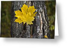 Maple-leaves Greeting Card
