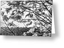 Maple Sunset - Paint Bw Greeting Card