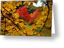 Maples In View Greeting Card