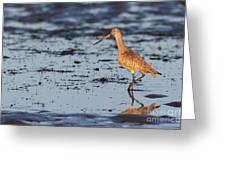 Marbled Godwit At Sunset Greeting Card