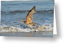Marbled Godwit Taking Off On Beach Greeting Card