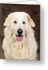 Maremma Sheepdog Greeting Card