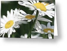 Marguerite Blossom Greeting Card