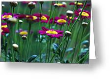 Marguerite Daisies Greeting Card