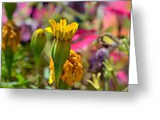 Marigold Mania Greeting Card