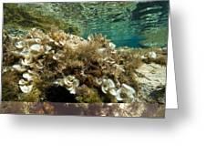 Marine Algae Greeting Card