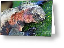 Marine Iguana Eating Green Seaweed Greeting Card