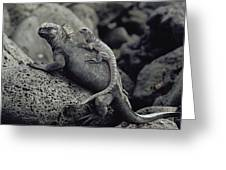 Marine Iguanas Galapagos Islands Greeting Card