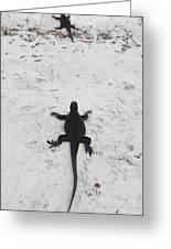 Marine Iguanas Galapagos Greeting Card