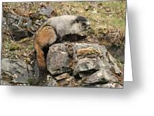 Marmot 1 Greeting Card