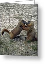 4m09150-02-marmot Fight Greeting Card