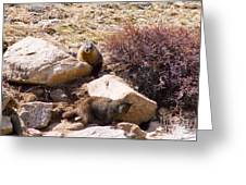 Marmots On Mount Evans Greeting Card