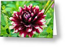 Maroon And White Dahlia Flower In The Garden Greeting Card