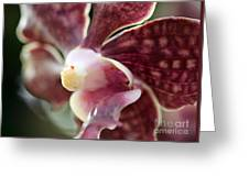 Maroon And White Orchid Greeting Card