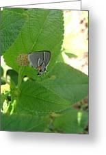 Martial Scrub Hairstreak Butterfly Greeting Card