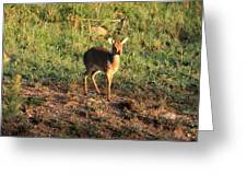 Masai Mara Dikdik Deer Greeting Card