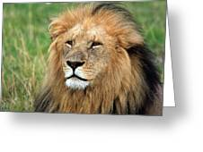 Masai Mara Lion Portrait    Greeting Card by Aidan Moran