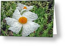 Matalija Poppy Greeting Card