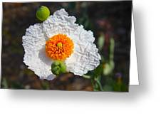 Matilija Poppy Buds And Bloom Greeting Card