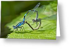 Mating Damselflies Greeting Card