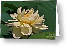 Mature Lotus Flower And Cute Hovering Honeybee Greeting Card
