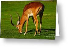 Mature Male Impala On A Lawn Greeting Card
