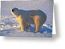 Mature Polar Bear Greeting Card