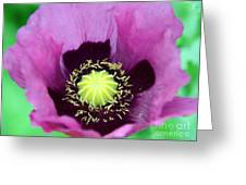Mauve Poppy Greeting Card