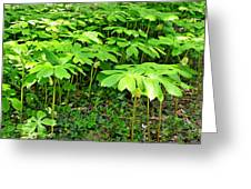Mayapple Plants Greeting Card