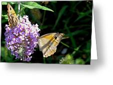 Meadow Brown Butterfly  Greeting Card