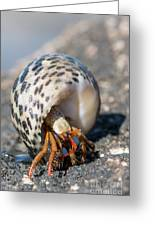 Mediterranean Hermit Crab Greeting Card