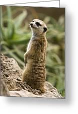 Meerkat Mongoose Portrait Greeting Card