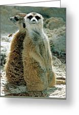 Meerkats Suricata Suricatta Greeting Card