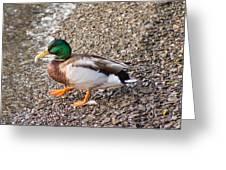 Meet Mr. Quack - A Mallard Duck Greeting Card