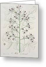 Melia Azedarach From 'phytographie Medicale' By Joseph Roques Greeting Card