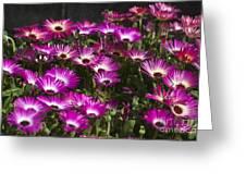 Mesembryanthemums 3 Greeting Card