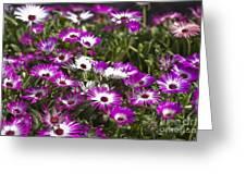 Mesembryanthemums 5 Greeting Card