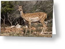 Mesopotamian Fallow Deer 2 Greeting Card