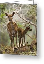 Mesopotamian Fallow Deer 4 Greeting Card