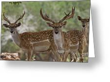 Mesopotamian Fallow Deer 5 Greeting Card