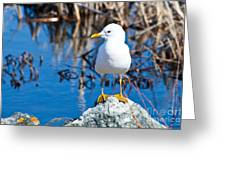 Mew Gull Greeting Card by Chris Heitstuman