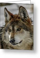 Mexican Grey Wolf Upclose Greeting Card