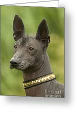 Mexican Hairless Dog Greeting Card