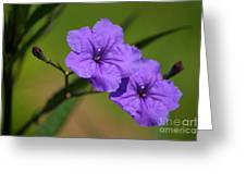 Mexican Petunia Greeting Card