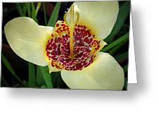 Mexican Shell Flower Greeting Card
