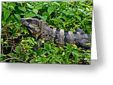 Mexican Spinytailed Iguana  Greeting Card