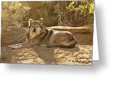 Mexican Wolf Close Up Greeting Card