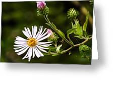 Michaelmas Daisy Greeting Card